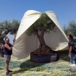 Olijfboom beschermen in de winter - winterbescherming kopen voor olijfboom